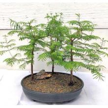 Redwood Bonsai Tree  Three (3) Tree Forest Group - Medium  <i>(Metasequoia Glyptostroboides)</i>