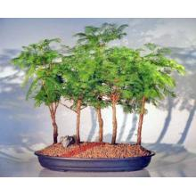 Redwood Bonsai Tree - 5 (Five) Tree Forest Group <i>(Metasequoia Glyptostroboides)</i>