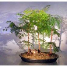 Redwood Bonsai Tree Three (3) Tree Forest Group - Large <i>(Metasequoia Glyptostroboides)</i>