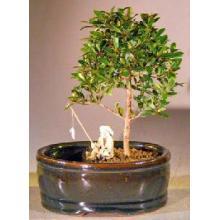 Flowering Brush Cherry Bonsai Tree  Land/Water Pot - Small <i>(Eugenia Myrtifolia)</i>